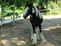 Gypsy Vanner 05 - Princes