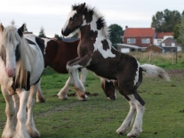 Gypsy Vanner 09 - Princes
